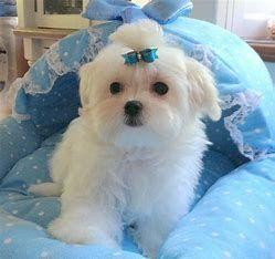Image Result For Teacup Maltese Puppies For Sale Pa Maltese