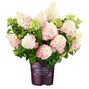 First Editions 3 Gal Vanilla Strawberry Hydrangea Plant With Creamy White To Pink Blooms 14530 The Home Depot In 2020 Strawberry Hydrangea Planting Hydrangeas Vanilla Strawberry Hydrangea