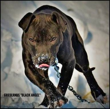 Frieslands Black Angel American Pitbull Terrier Pitbull