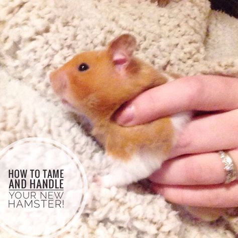 Taming And Handling Your New Hamster Dwarf Hamster Care Hamster Life Hamster Care