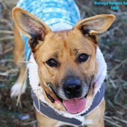 Boone Nc Mixed Breed Large Meet True A Pet For Adoption In 2020 Humane Society Pet Adoption Mixed Breed