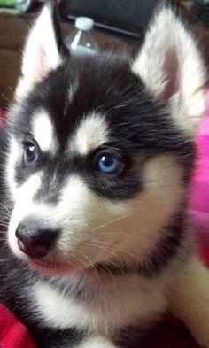 Husky Puppy Face Siberian Husky Dog Siberian Husky Husky Puppy