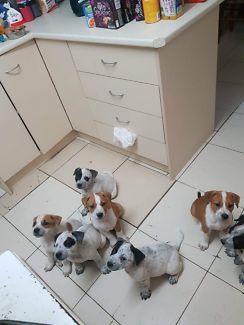 Staffy X Blue Heeler Puppies For Sale Dogs Puppies Gumtree Australia Logan Area Greenbank 1172613 Blue Heeler Puppies Heeler Puppies Puppies For Sale