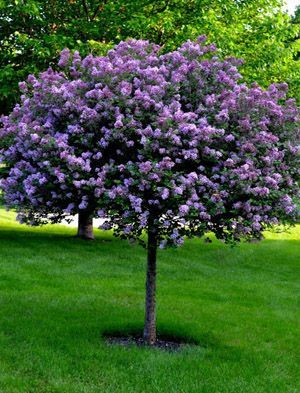 Bloomerang Purple Lilac Tree Easy Landscaping Lilac Tree Landscaping Trees