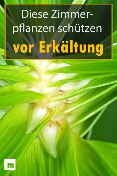 Diese Pflanzen Im Wohnzimmer Machen Dich Gesund Ratgeber Pflanzen Erkaltung Mannersache Pflanzen Zimmerpflanzen Gesundheit