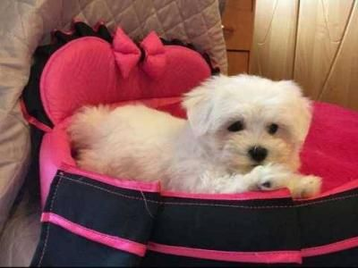 Maltese Puppies For Sale Texas City Maltese Puppies For Sale