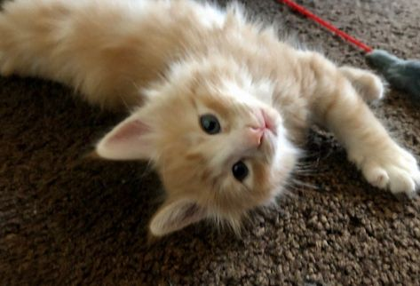 Pedigree Norwegian Forest Kittens For Sale Wisbech Cambridgeshire Pets4homes In 2020 Norwegian Forest Kittens Kitten For Sale Kittens