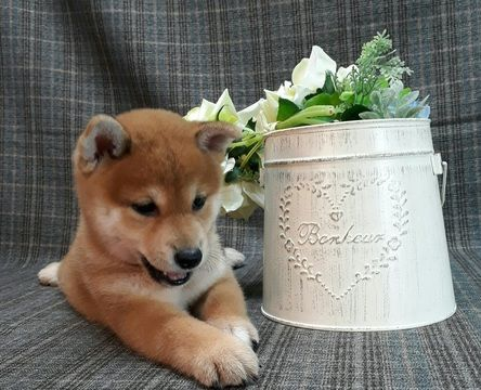 Shiba Inu Puppy For Sale In Los Angeles Ca Usa Adn 100094 On