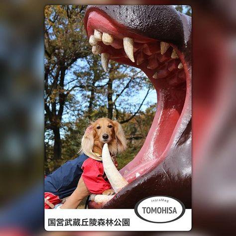 *2016年11月28日月曜日* • ともさんとおばあちゃんと義姉とご近所のおばちゃん達と「国営武蔵丘陵森林公園」なう💕 • @mamoremon614 さんのマネしてパチリ📷 • #ワンコが我が子だワン#ワンコなしでは生きて行けません会#ワンコ#短足部#犬バカ#犬バカ部#犬#犬の生活が第一#ダックスフンド#ダックス#デカダックス#デカチュアダックス倶楽部#ミニチュアダックスフンド#ミニチュアダックス#愛犬#癒し#癒しわんこ#世界一可愛くてごめんなさい#ワンコOK#国営武蔵丘陵森林公園#森林公園#お出掛け