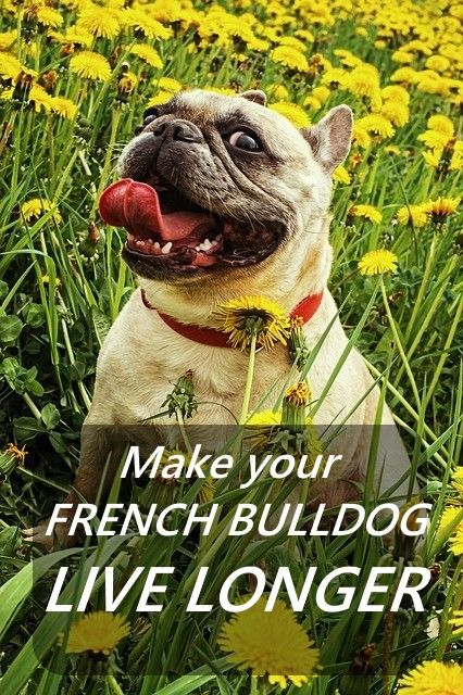 How To Make Your French Bulldog Live Longer Bulldog French
