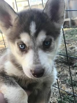 Siberian Husky Puppy For Sale In Ringgold Ga Adn 60084 On
