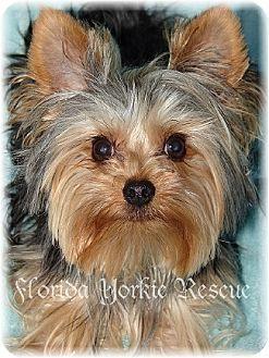 Palm City Fl Yorkie Yorkshire Terrier Meet J R A Dog For Adoption Biewer Yorkie Yorkshire Terrier Yorkie Yorkshire Terrier