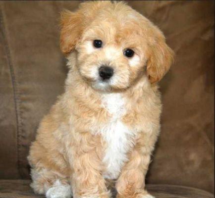 Teacup Maltipoo Full Grown Dogs Maltipoo Dog Maltipoo Puppy Maltipoo Puppies For Sale