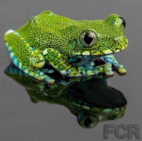 ENDANGERED: The peacock tree frog (Leptopelis vermiculatus) is found