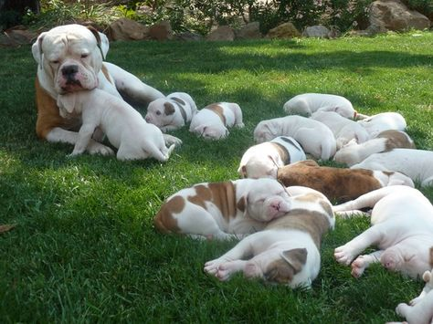 American Bulldogs Puppies American Bulldog Puppies American Bulldog Bulldog Puppies