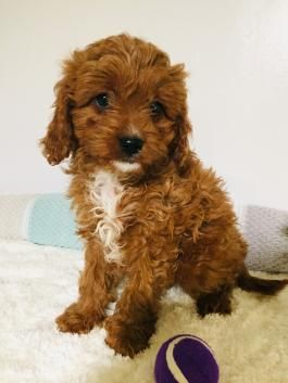 Cavapoo Puppies For Sale In 2020 Cavapoo Puppies Cavapoo Cavapoo Puppies For Sale
