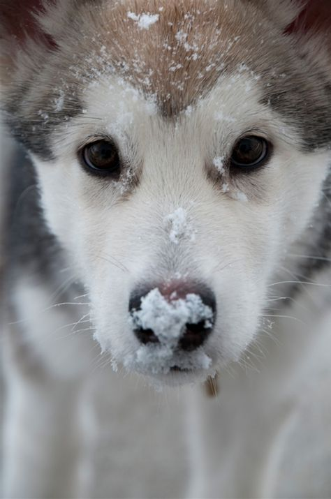 Reminds me of my old dog, Harley. He was a red Siberian Husky and German Shepherd mix and loved to have snow on his nose!