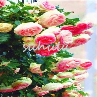 100 Pcs/Bag Climbing Rose Seeds Colorful Rosa Tree Seeds,Chinese Polyantha Rose Bonsai Potted Plant For Home Garden So Romantic
