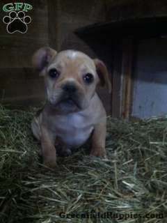 Markie Frengle Puppy For Sale In Ohio Puppies Puppies For Sale Pup