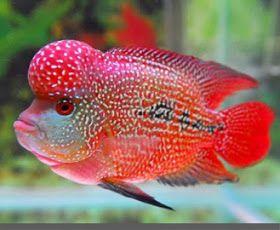Ikan Louhan Ikan Ikan Akuarium Ikan Air Tawar