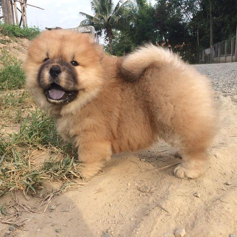 Chow Chow My Best Friends Chow Chow Dogs Expensive Dogs Dogs