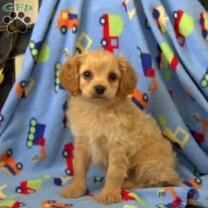 Cavapoo Puppies For Sale Cavapoo Dog Breed Info Greenfield Puppies Cavapoo Puppies Cavapoo Puppies For Sale Greenfield Puppies