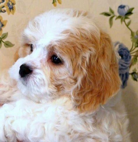 Pin By Dog Lover On Bichon Frise Cavachon Puppies Cavachon Dog Cavachon