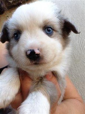 Miniature Australian Shepherd Puppies Australian Shepherd