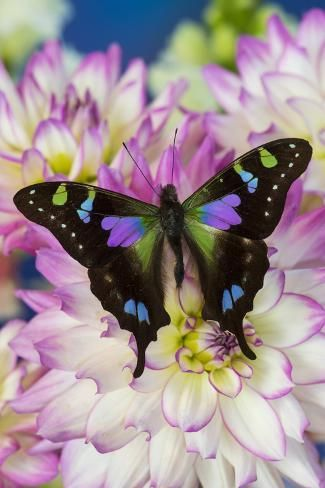 Photographic Print: Butterfly Graphium weiski, the purple spotted Swallowtail on Dahlias by Darrell Gulin : 36x24in