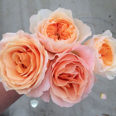 salma rose by nevado and juliet garden roses peach roses roses for cut flower industry pinterest garden roses gardens and flowers
