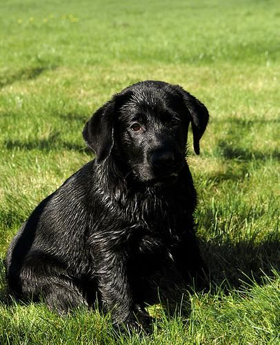 Labrador Puppies Victoria For Sale Take A Look At