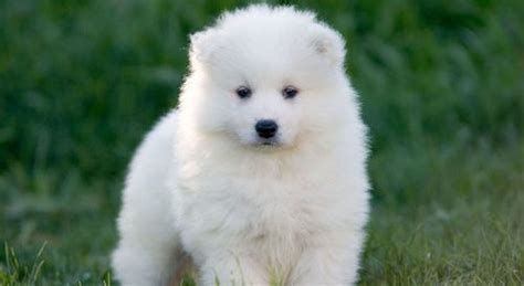 Teacup Samoyed Puppies Bing Images In 2020 Samoyed Puppy Samoyed Puppies For Sale Puppies
