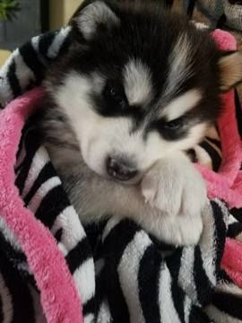 Siberian Husky Puppy For Sale In Ottawa Oh Usa Adn 82238 On