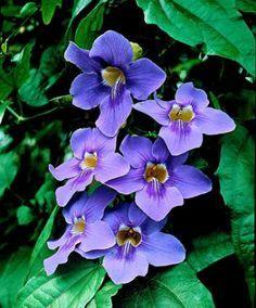 Bengal Trumpet Vine The Blue Trumpet Vine Has Remarkably Large Flowers Ranging From Lavender To Bluish Violet Hanging Together Garden Vines Plants Trumpet Vine