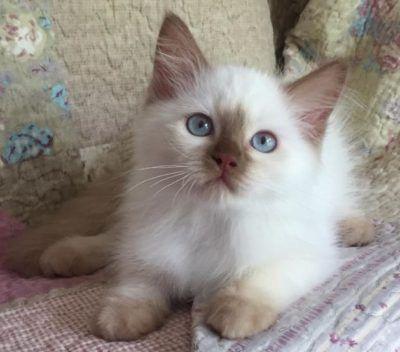 Ragdoll Cats Ragdoll Kittens For Sale O Canada Ragdolls Cinnamon Ragdolls Solid Ragdolls Mink Ragdolls Blue Eyed White Ragdoll