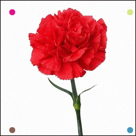 Red Carnation Flower Meaning Symbolism Love Distinction Gratitude Admiration Carnation Flower Meaning Flower Meanings Carnation Flower