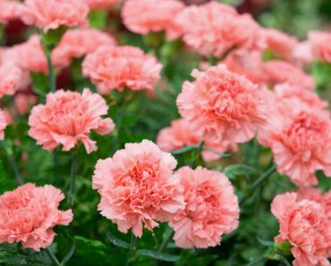 10 Different Types Of Carnations Everything You Need To Know About In 2020 Carnation Flower Flower Dictionary Carnations