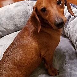 Available Pets At All Texas Dachshund Rescue In Pearland Texas Dachshund Rescue Dachshund Pets