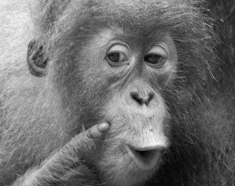 Sumatran Orangutan Pongo,