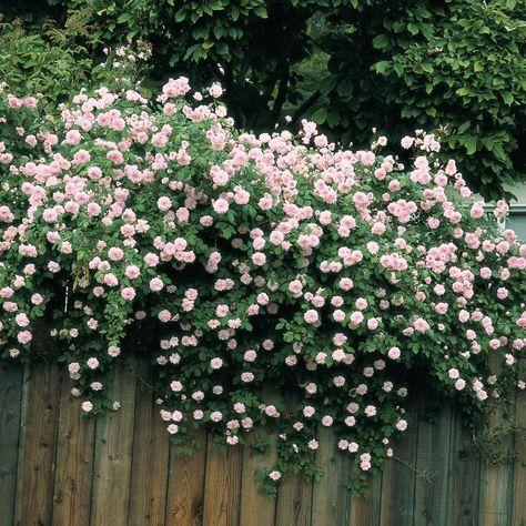 Spring Hill Nurseries Cecile Brunner Climbing Rose, Live Bareroot Plant, Pink Color Flowers (1-Pack)-05527 - The Home Depot