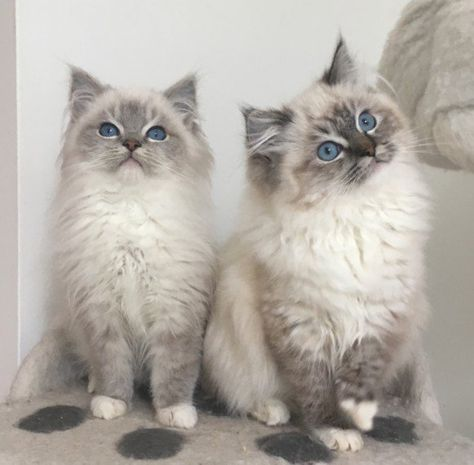 Sold Gccf Registered Ready To Leave Now Dumfries Dumfriesshire Pets4homes Cattery Ragdoll Kitten Kittens