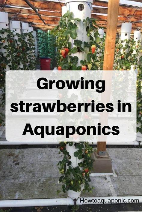 Strabwerry aquaponics