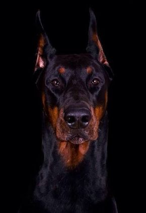 Majestic Doberman From Wiki Originally Developed By Karl Friedrich Louis Doberman Tax Collector From Germany Large Dogs Doberman Dogs Doberman Pinscher Dog