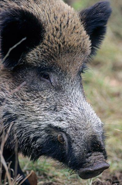 Awesome Wildschwein Angst in Stahnsdorf Jungs retten sich auf Baum Wildschwein Jagd und Schweinchen