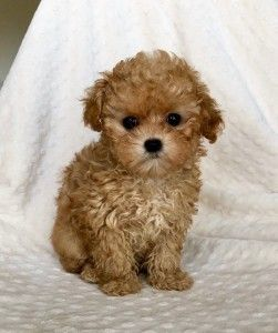 This Special Puppy Cutest Will Bring You Joy Dogs Are Wonderful Friends Puppycutest Maltipoo Puppy Maltipoo Puppies