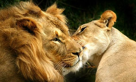 Lion And Lioness Wallpaper Free HD Backgrounds Images Pictures