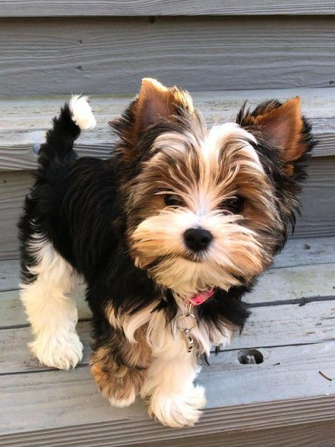 More About The Feisty Yorkshire Terrier And Kids #yorkshireterriersofinstagra #yorkshireterrierofficial #yorkshireterriercare