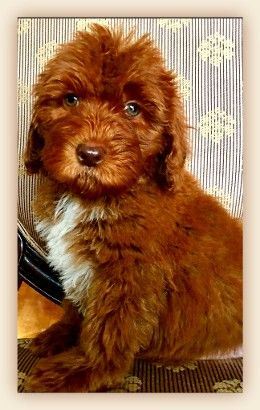 Sunnyvale Ca Catherine Monroe Australian Laberdoodle We Are Dedicated Breeders Of Aust Australian Labradoodle Labradoodle Puppy Australian Labradoodle Puppies