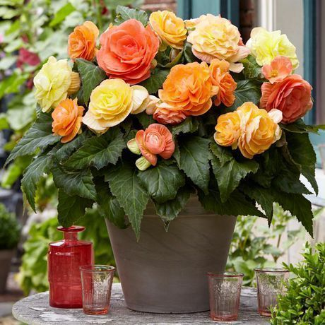 Flower Bulbs Begonia Double Pastel Assorted 6 Bulbs Assorted Begonia Bulbs Assorted Begonia Bulbs Bulbsassorted Doubl In 2020 Bulb Flowers Begonia Flowers