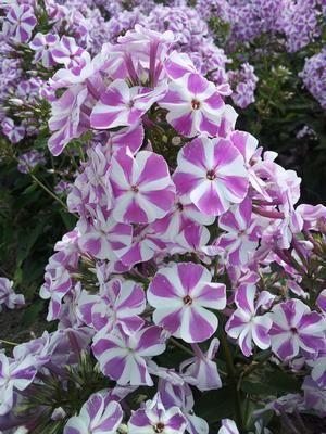 Hohe Flammenblume Raving Beauty Phlox paniculata